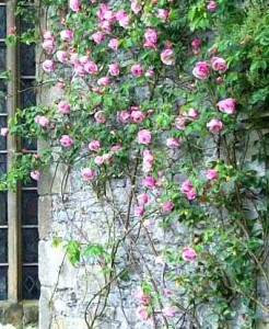 розы на стене дома