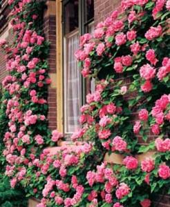 большой куст роз около дома