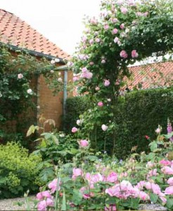 красивые розы в палисаднике около дома