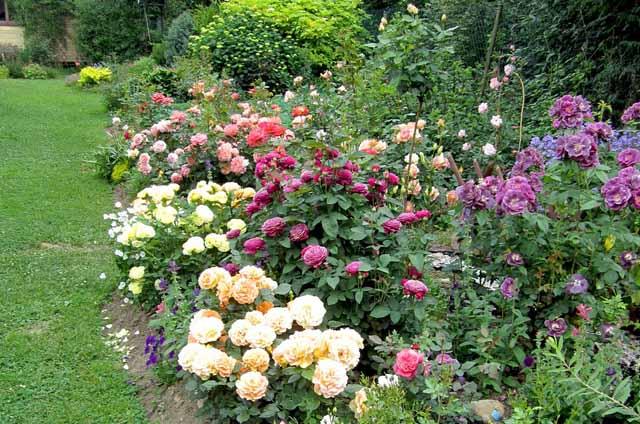 розы в саду уход