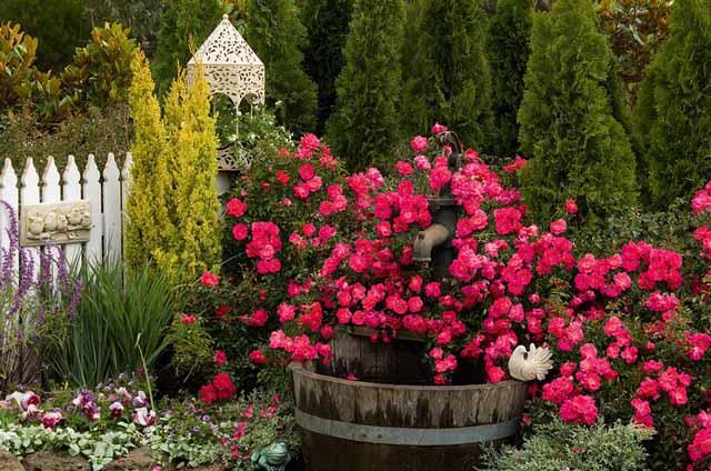 розы в саду