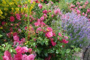 розы в саду укрываем на зиму