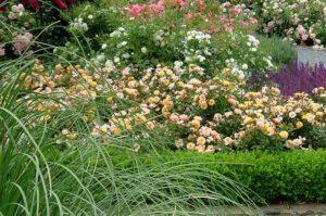 как выбрать розы для сада
