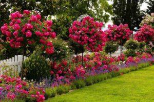 как вырастить розы в саду