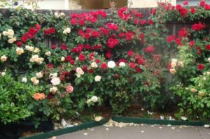 розы в саду фото