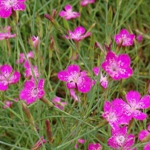 гвоздика травянка для красивого розового цветника