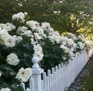 белые розы в палисаднике
