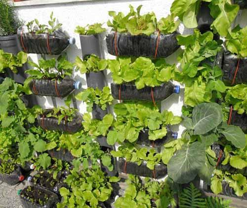 используем пластиковые бутылки для выращивания зелени на даче