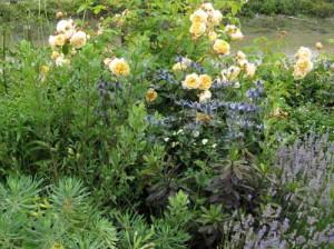 розы в дизайне цветников на даче