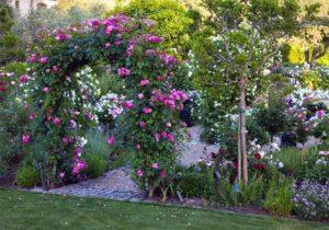 Плетистая роза фото арки