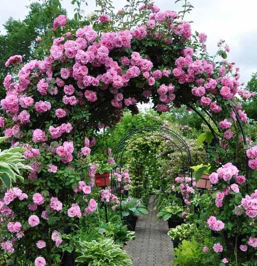 как самому вырастить красивую розу