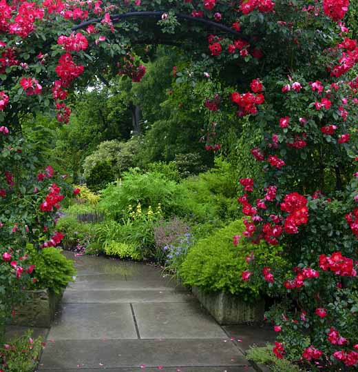 плетистые розы в саду уход