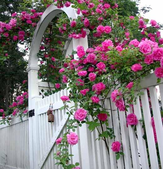 как ухаживать за плетистой розой