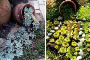 использование суккулентов в дизайне цветников