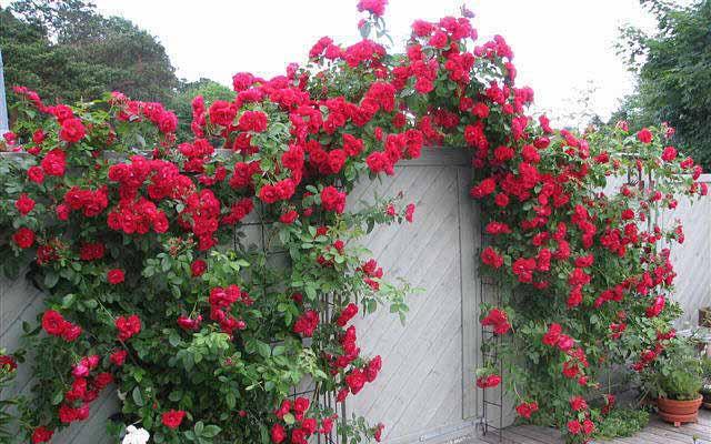 лианы в садовом дизайне