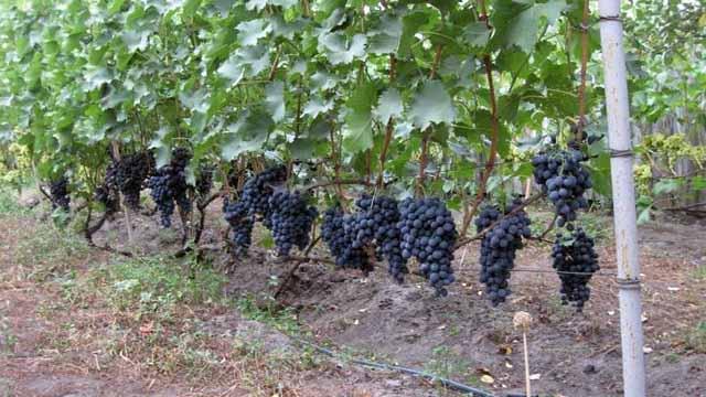 Шпалера для винограда своими руками: как сделать опору под 51