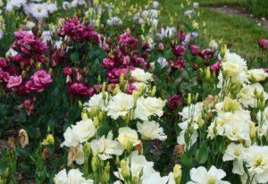 как самому вырастить эустому в саду