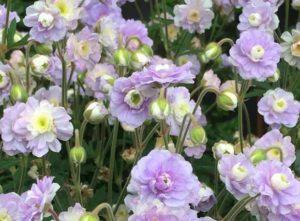 модные цветы для клумбы