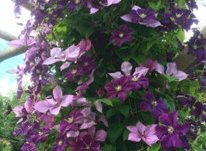 популярные цветы для клумбы