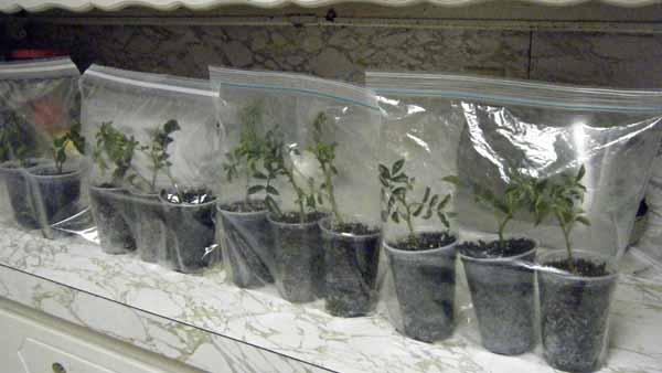 ошибки при выращивании розы из черенка