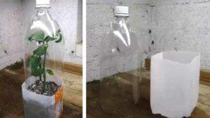 ошибки при выращивании розы из букета черенком
