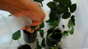 как правильно посадить розу из букета