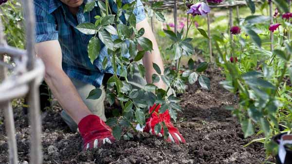 как вырастить розу из букета