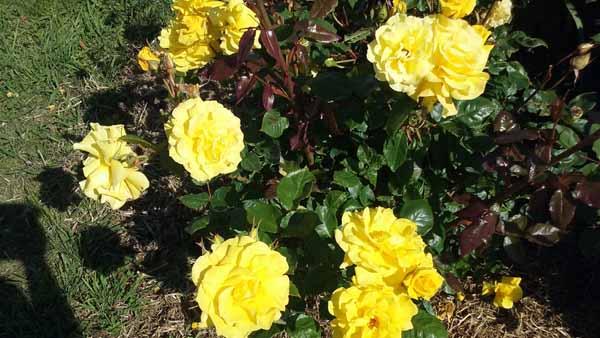 как дома вырастить розу из букета