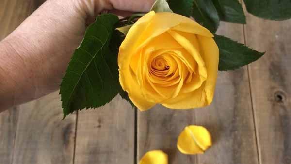 как самому вырастить розу из букета