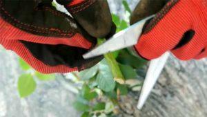 как вырастить розу из черенка дома