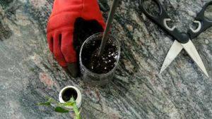 вырастить розу из букета. подготовка почвы