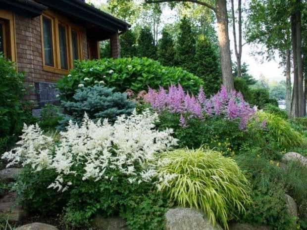 астильба в саду