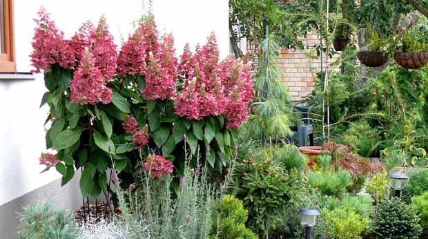 гортензия в саду выращивание