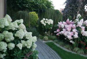 гортензия метельчатая сорт Vanille Fraise Renhy в саду