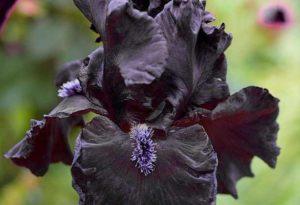ирис сорт Obsidian фото