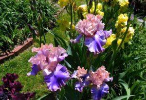 как посадить в саду ирисы