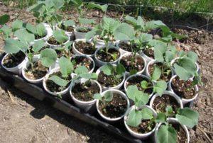 белокочанная капуста выращивание