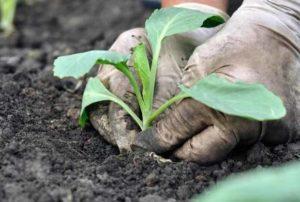 капуста выращивание в открытом грунте