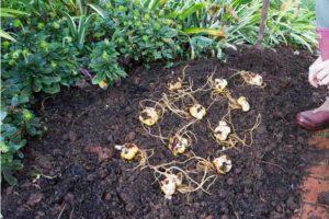 как посадить лилии фото