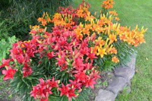 лилии как посадить