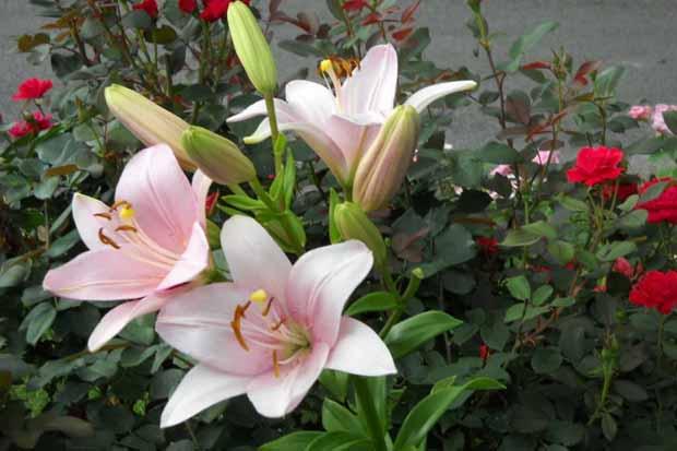 гибридные ЛА лилии