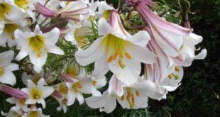 трубчатые лилии