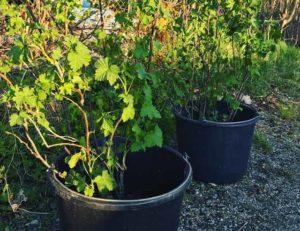 Как и когда посадить чёрную смородину