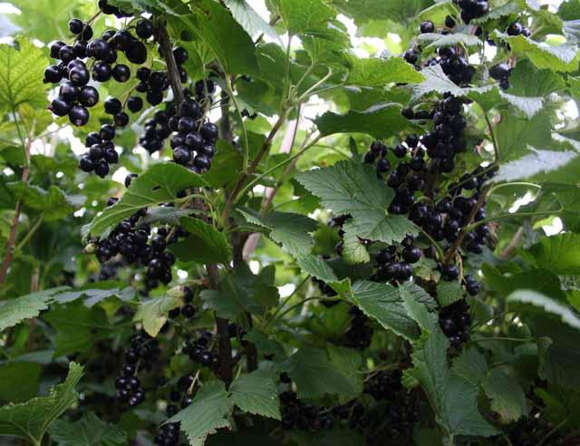 как вырастить черную смородину