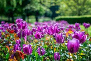 отцвели тюльпаны, нужно ли их срезать