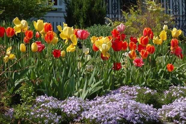 отцвели тюльпаны - срезать листья или нет