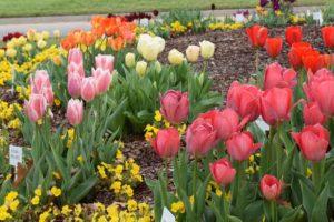 отцвели тюльпаны - правильный уход и посадка