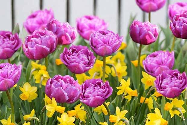 отцвели тюльпаны, как подкормить