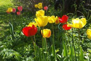 отцвели тюльпаны, нужно ли их выкапывать