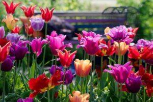 отцвели тюльпаны, как за ними ухаживать